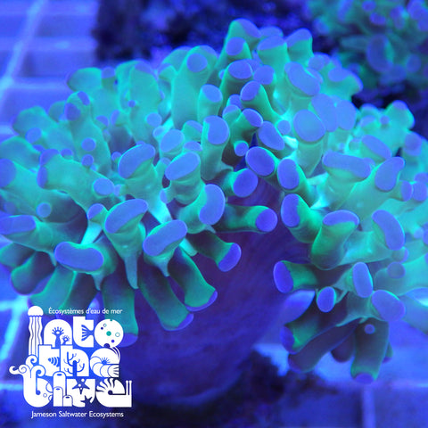 Into the blue- Hammer Coral