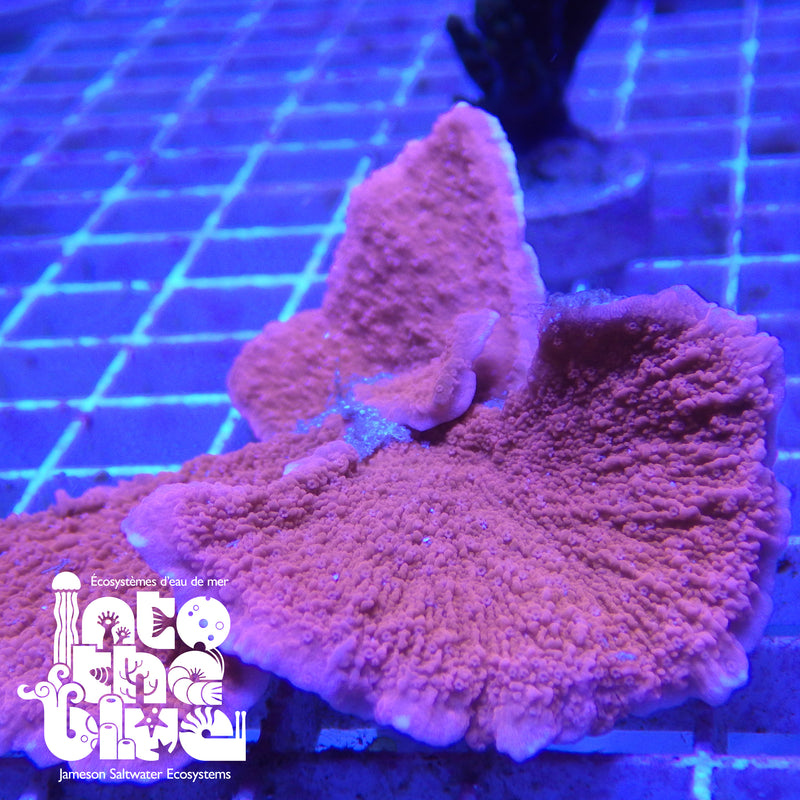 Into the blue- Orange Montipora