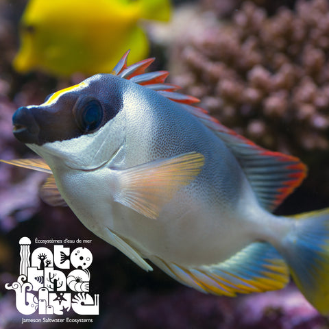 Magnificent Foxface Rabbitfish
