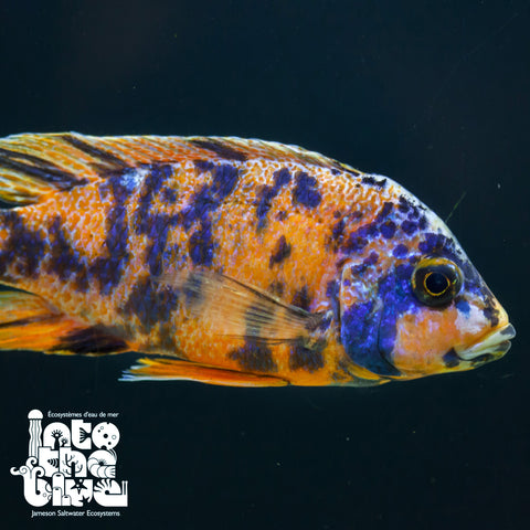 Orange Blotched Peacock Cichlid