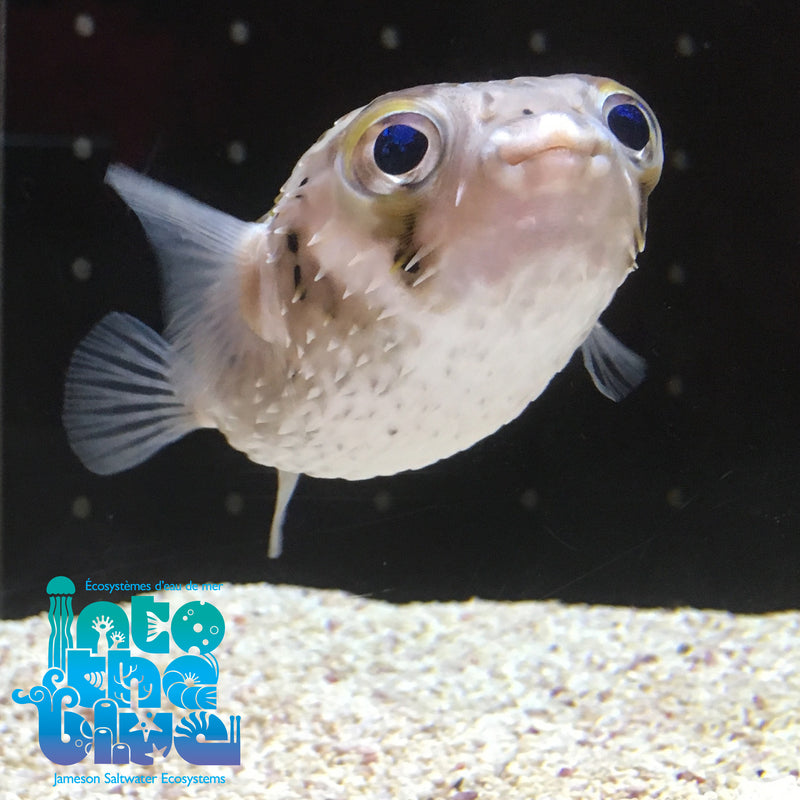 Porcupine Puffer (small)