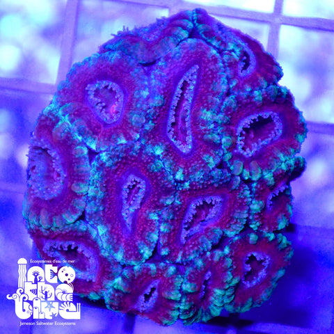 WYSIWYG - Aussie Acan Red with Green Skirt
