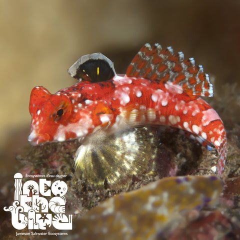 Red Scooter Blenny/ Dragonet