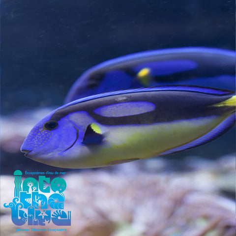Yellow Belly Blue Hippo Tang