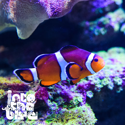 Orange Oscellaris Clownfish