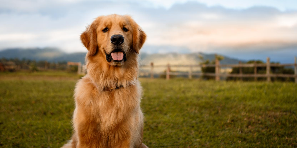 Golden Retriever Dog Breed Information