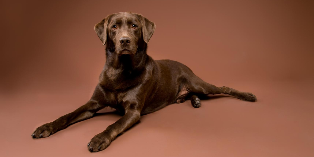 chocolate labrador retriever lab dog breed information