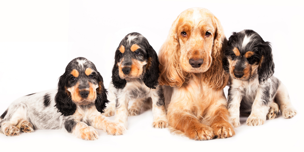 cocker spaniel dogs dog puppy puppies heat cycles spaying spay neuter