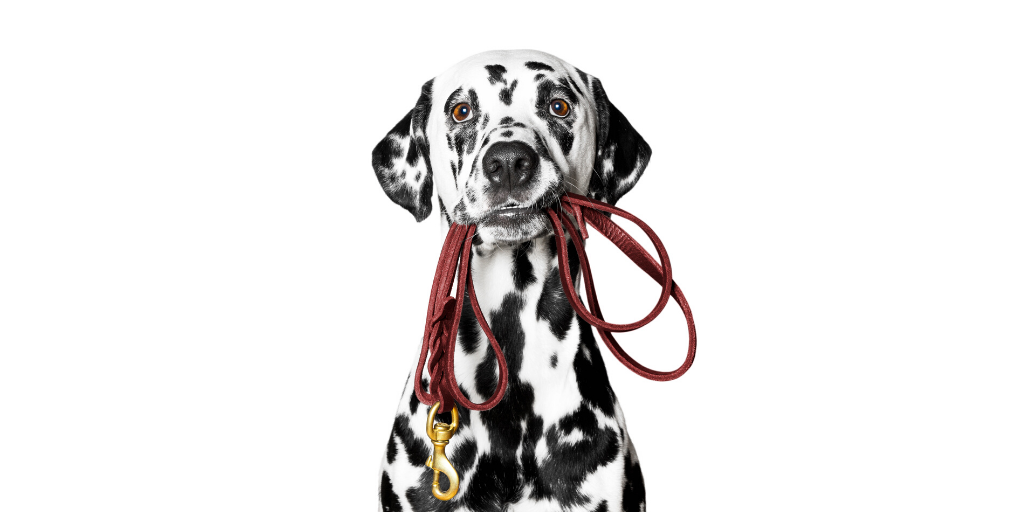 dalmatian dog walk leash walking tips