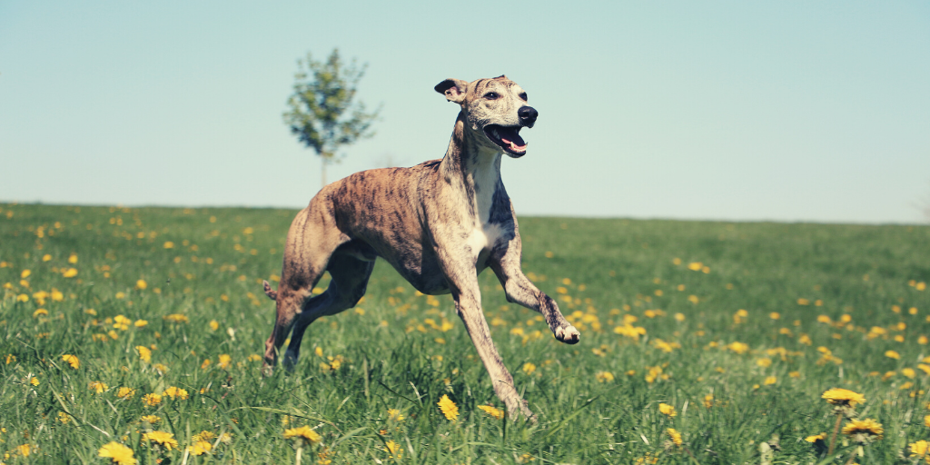 15 Greyhound Facts You May Not Have Known – The Pawsitive Co
