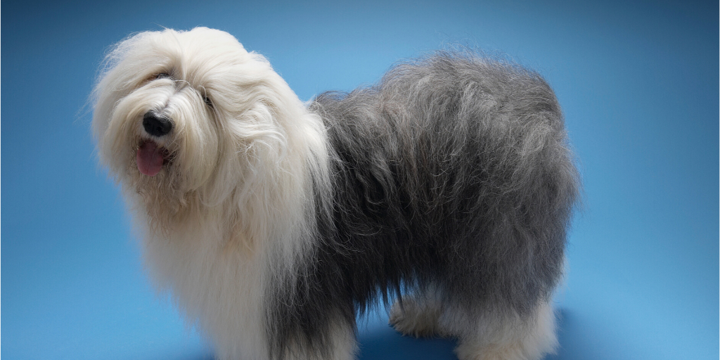 old english sheepdog fluffy poofy fuzzy hairy furry dog breeds