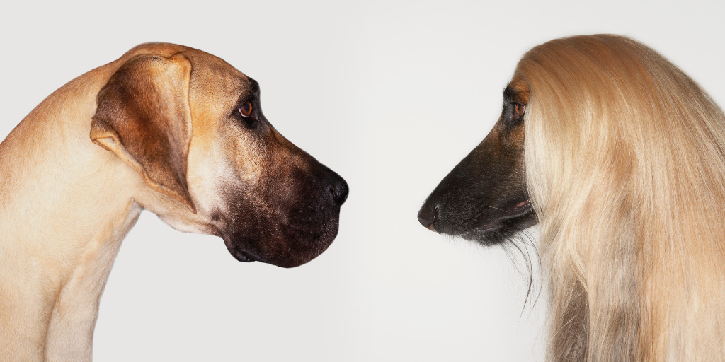 great dane dog afghan hound dog looking staring at each other