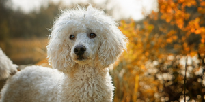 Poodle outside during autumn