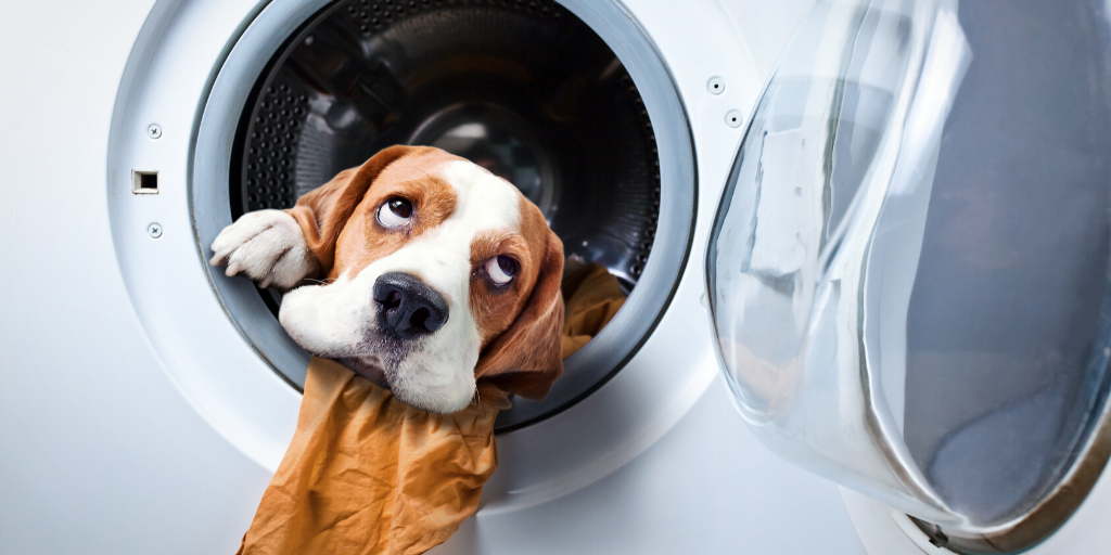 beagle dog spring cleaning tips clean wash laundry