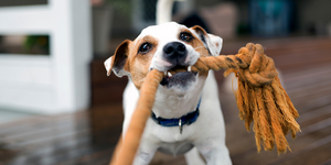 dog jack russell terrier playing tug of war rope toy