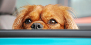 Cavalier King Charles spaniel dog eyes and nose