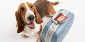 basset hound dog happy smiling tongue out suitcase passport