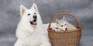 white swiss shepherd berger blanc suisse adult dog with siberian husky puppy in basket