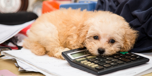 poodle doodle dog fluffy puppy lying on desk calculator
