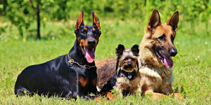Doberman Pinscher, Yorkshire Terrier and German Shepherd lying down in grass