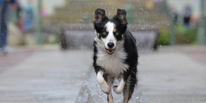 Border Collie running in city fountain