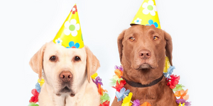 Retriever dogs wearing birthday party hats