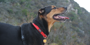 Happy black and tan coonhound dog mixed breed on hike, smiling with tongue out