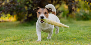 jack russell terrier dog holding corn on the cob in mouth corn husk outside grass grassy greenery