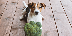 jack russell terrier dog broccoli year round vegetables veggies safe toxic