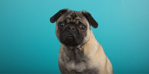 pug dog toy breed puppy dog eyes sad eyes