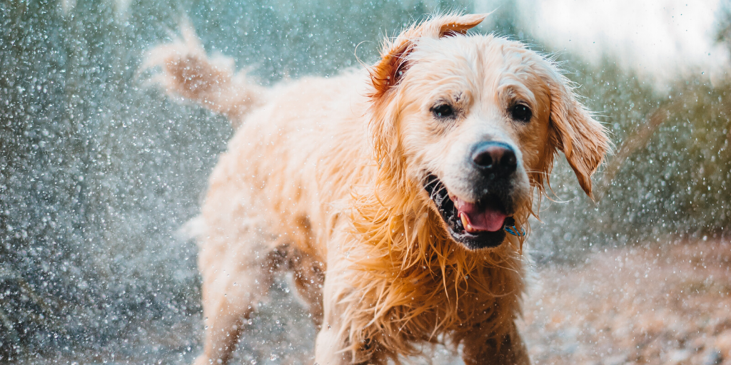 Why Do Wet Dogs Smell?