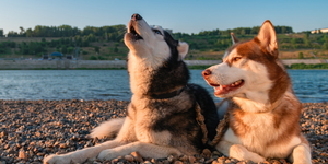 husky dogs lying on ground howling happy smiling lake river outdoors