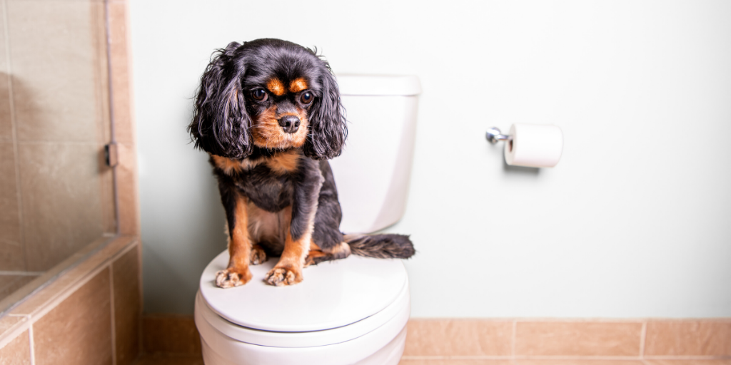cavalier king charles spaniel dog puppy potty train house training house breaking pee urine accidents bathroom