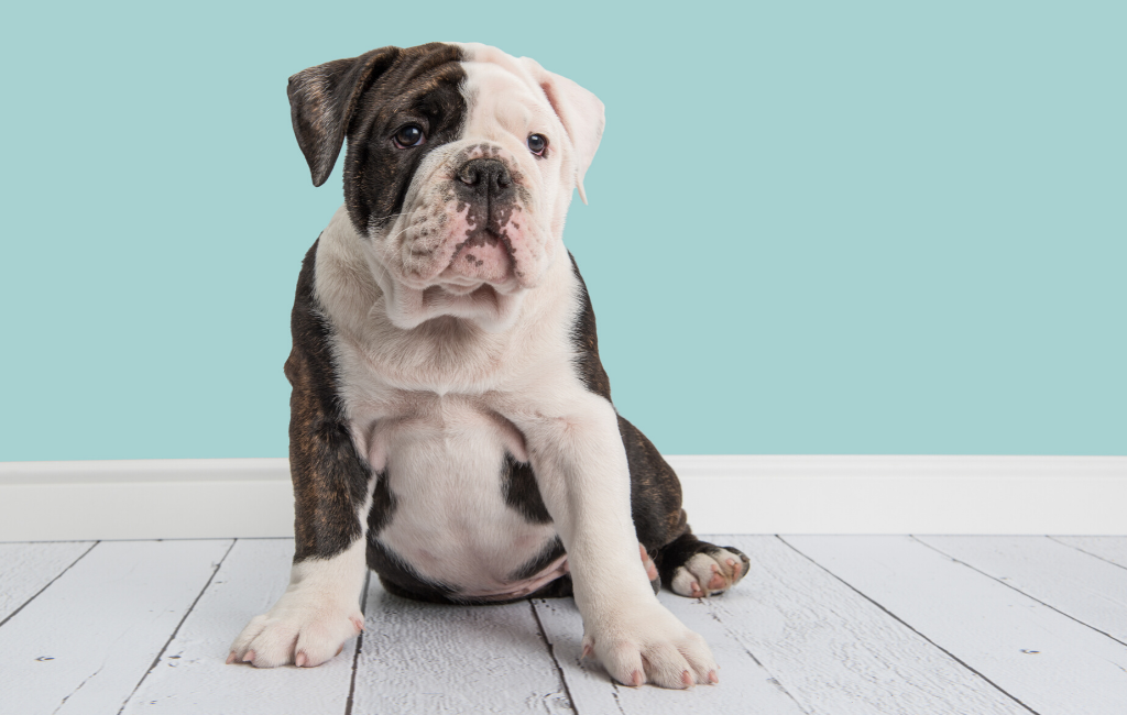 english bulldog dog