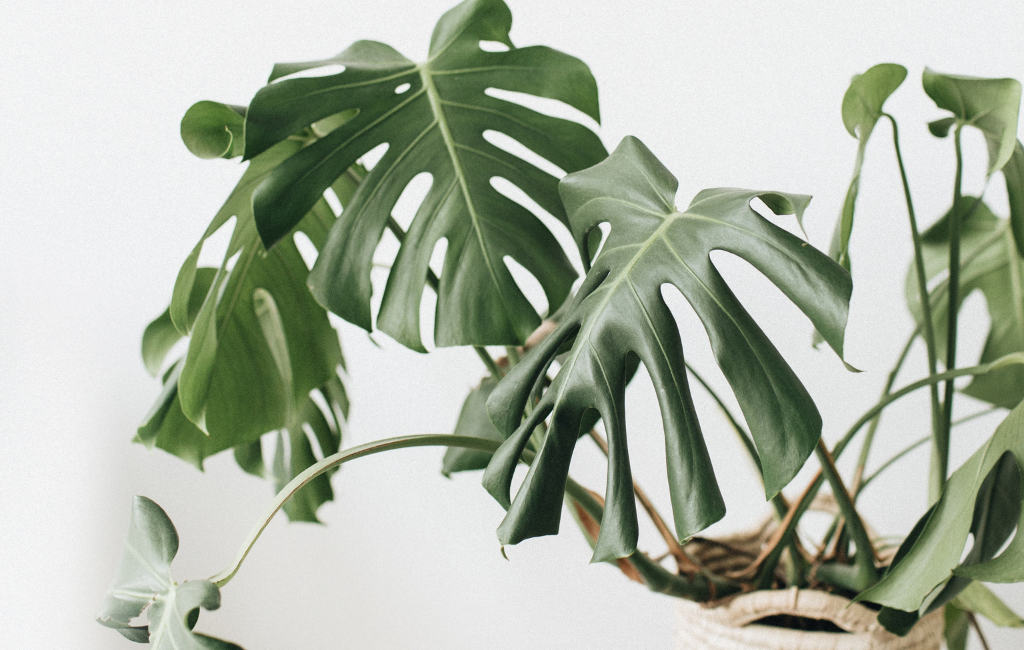 Monstera deliciosa philodendron Swiss cheese plant houseplant indoor plants