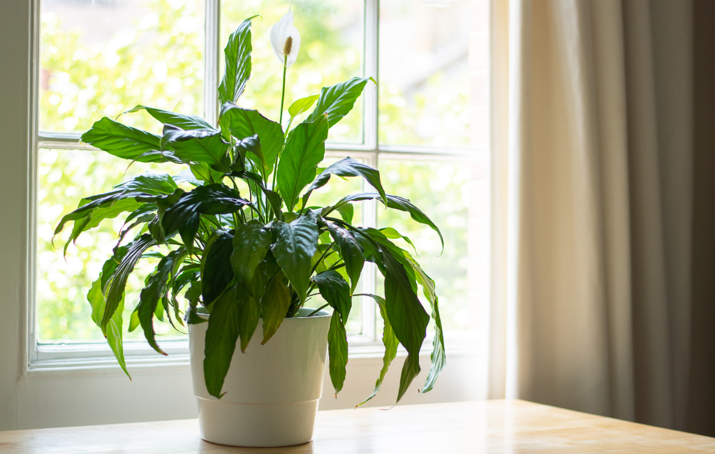 peace lily Spathiphyllum flower plant houseplant indoor plants