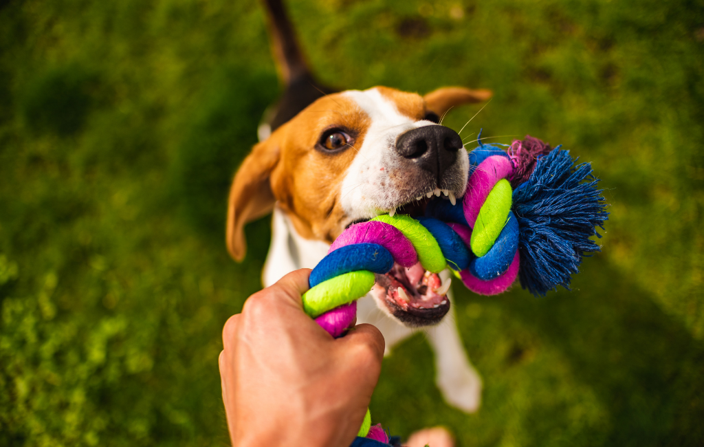 beagle playing tug of war with rope toy
