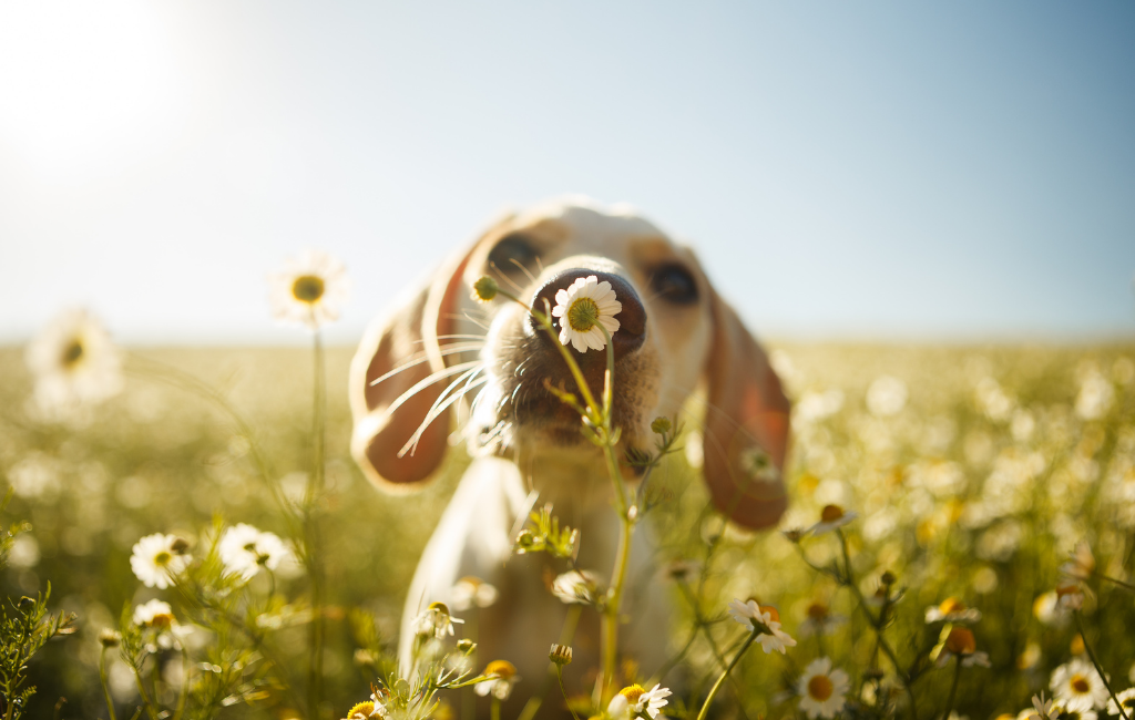 dog outside field of flowers sniffing nose