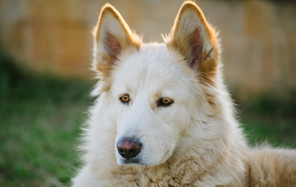Northern Inuit Dog breed
