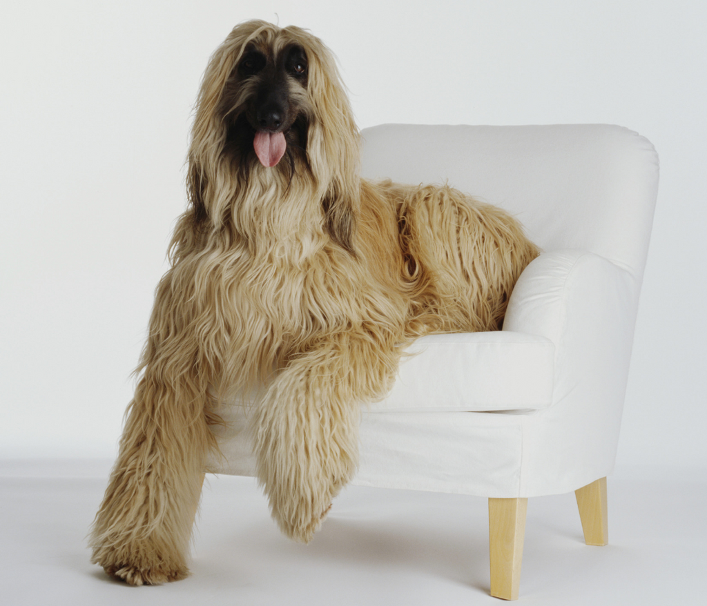 Afghan hound dog sitting in chair model photo shoot white background