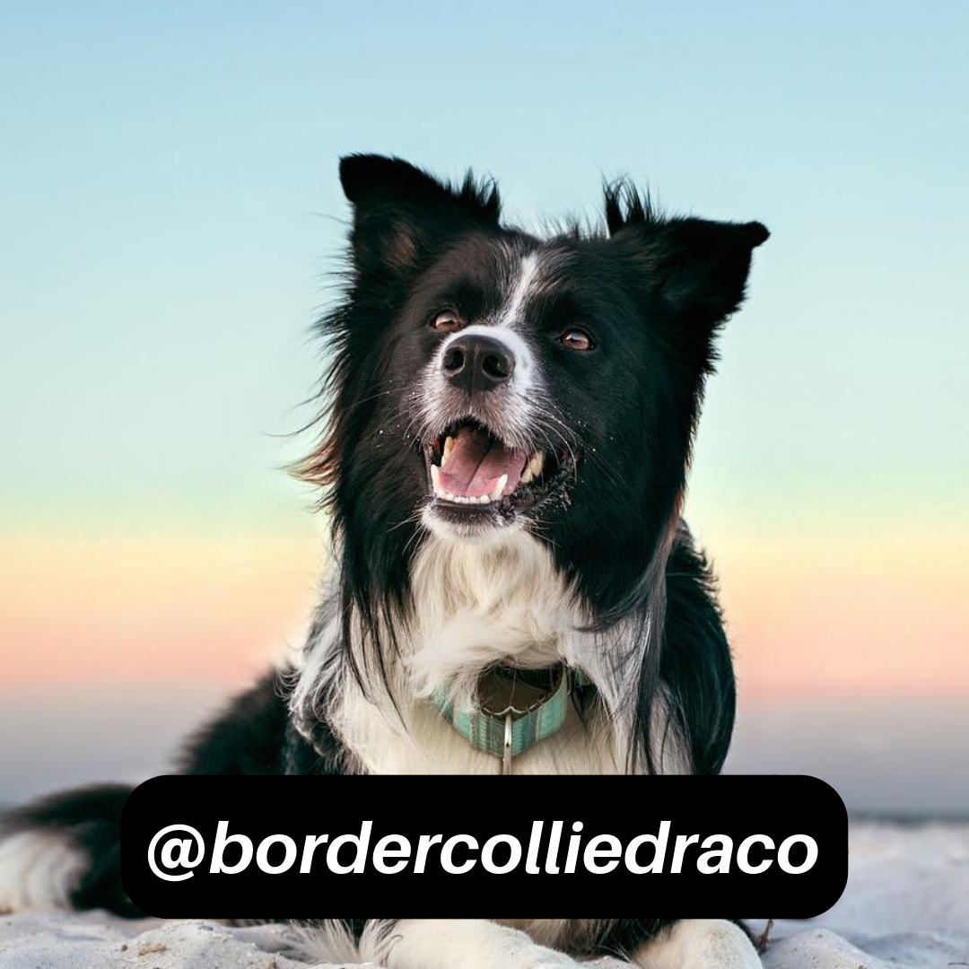 @bordercolliedraco on Instagram