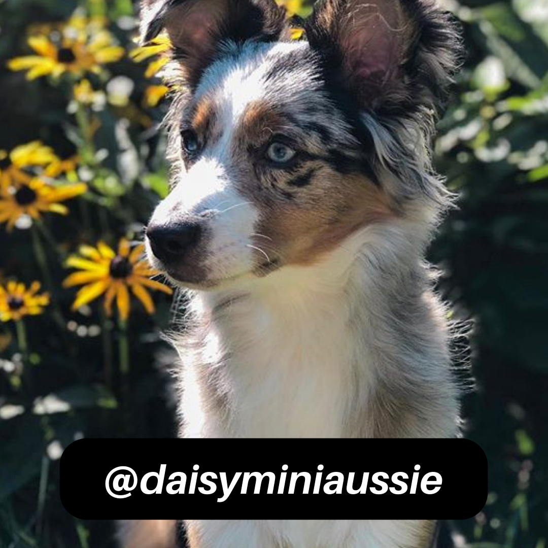 @daisyminiaussie on Instagram