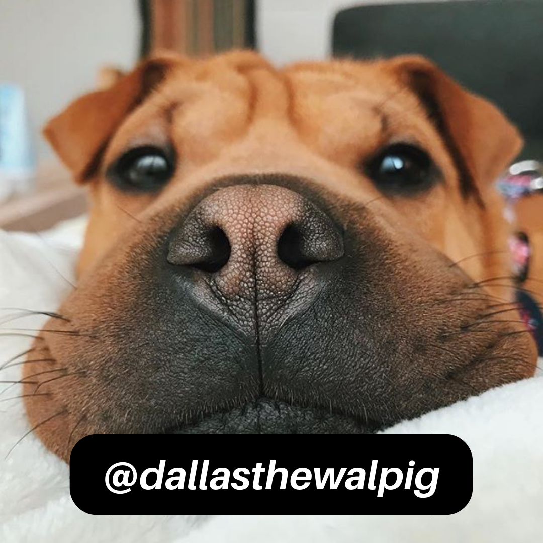 @dallasthewalpig on Instagram