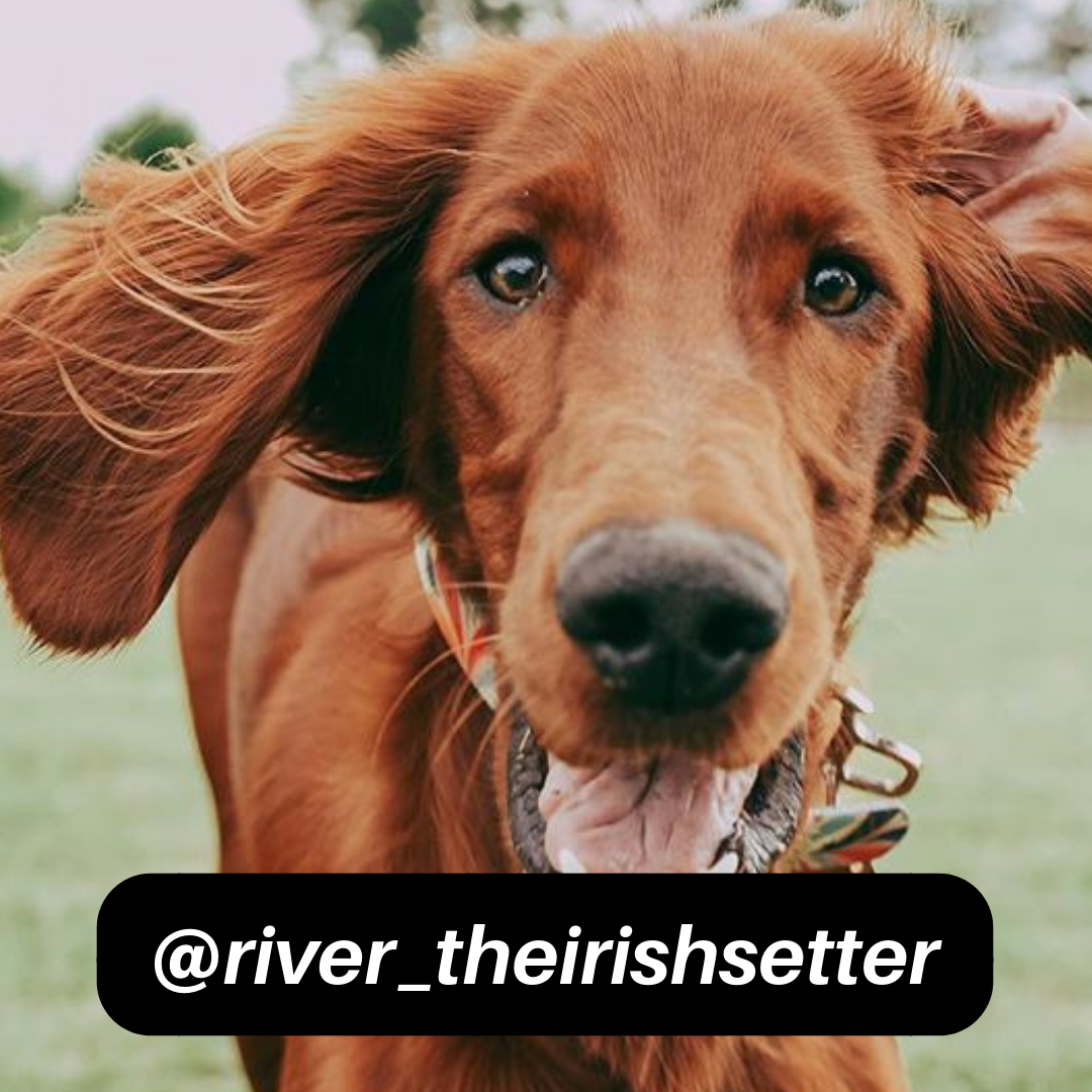 @river_theirishsetter on Instagram