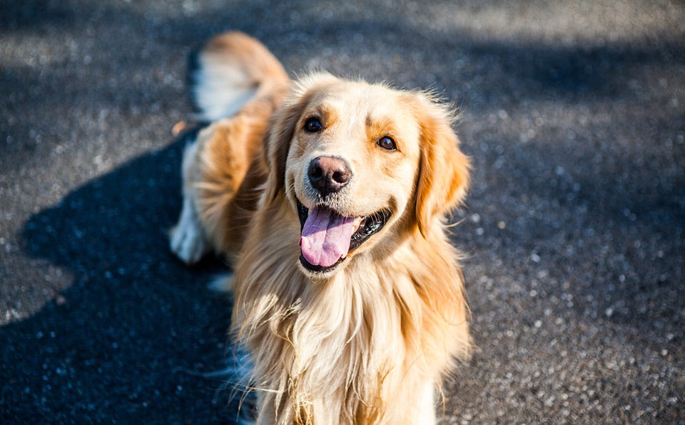 Golden Retriever lying on the pavement with tongue out