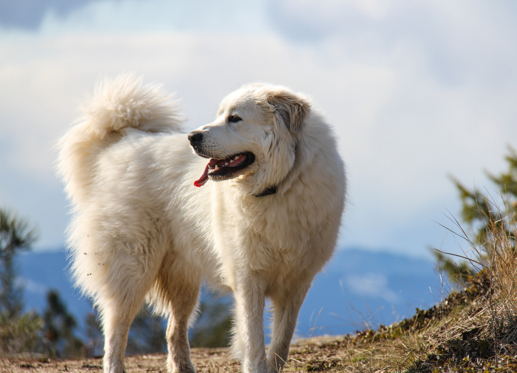 Great Pyrenees standing outside outdoors hike mountain view happy smiling dog panting tongue out