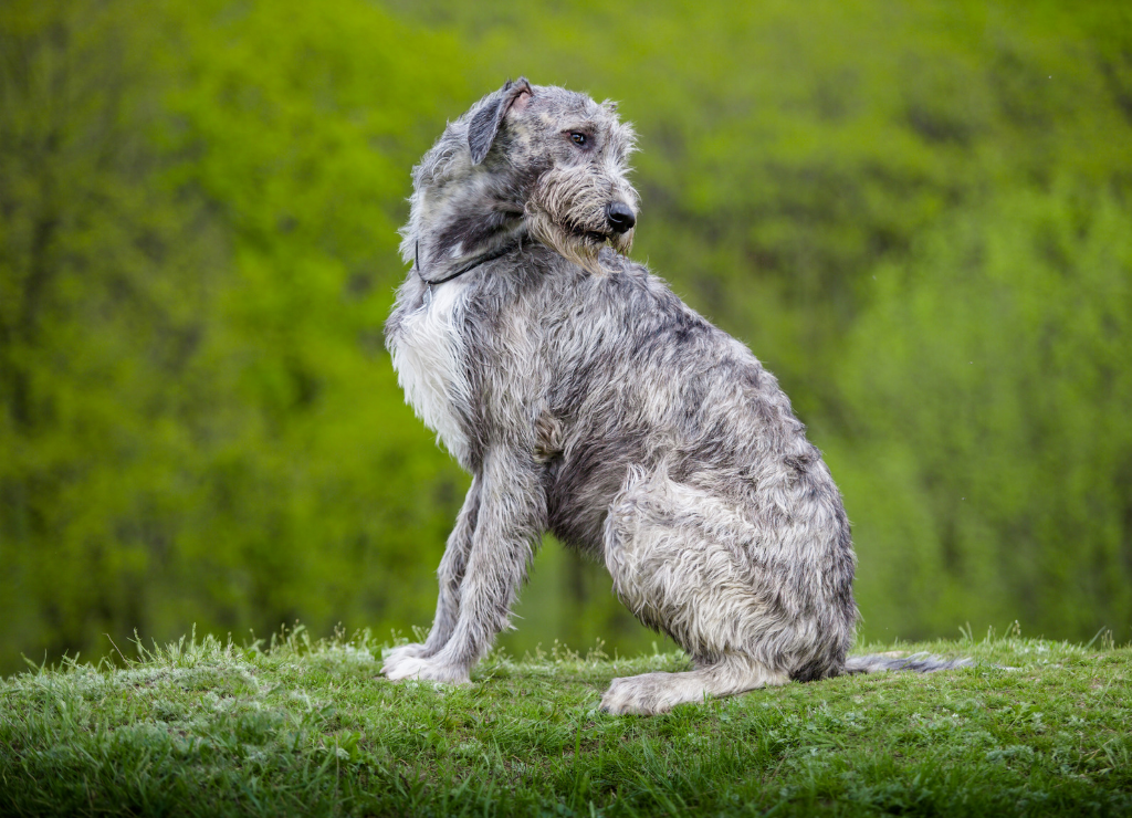 Irish Wolfhound dog sitting outside grass greenery