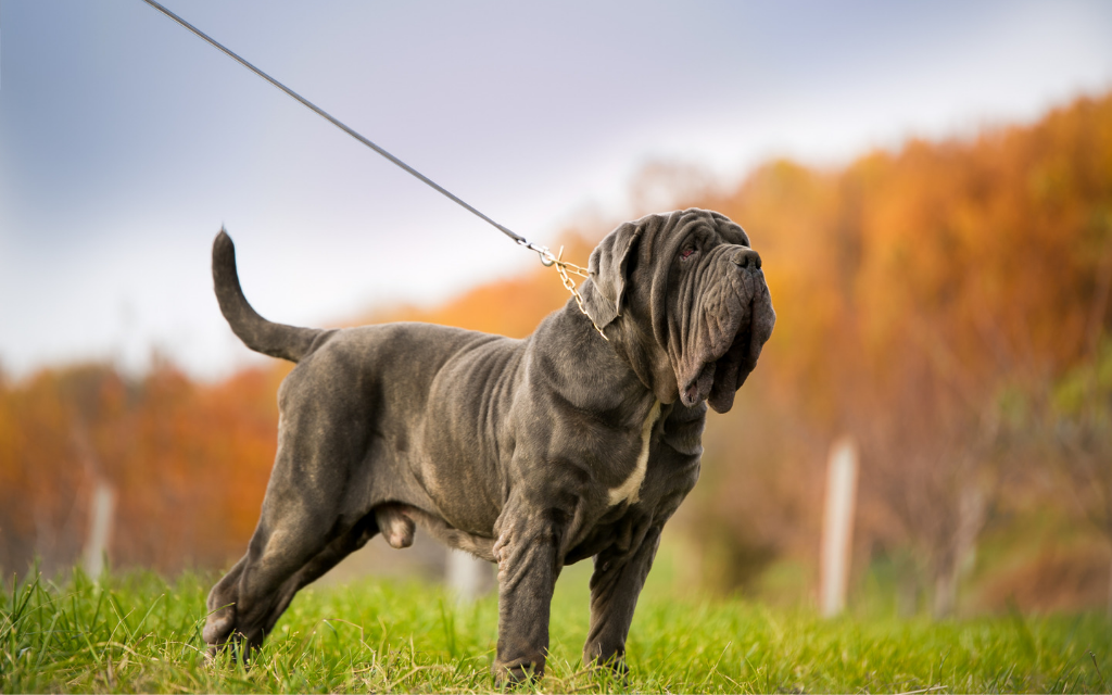 Neapolitan Mastiff dog standing outside in grass autumn fall season orange leaves trees