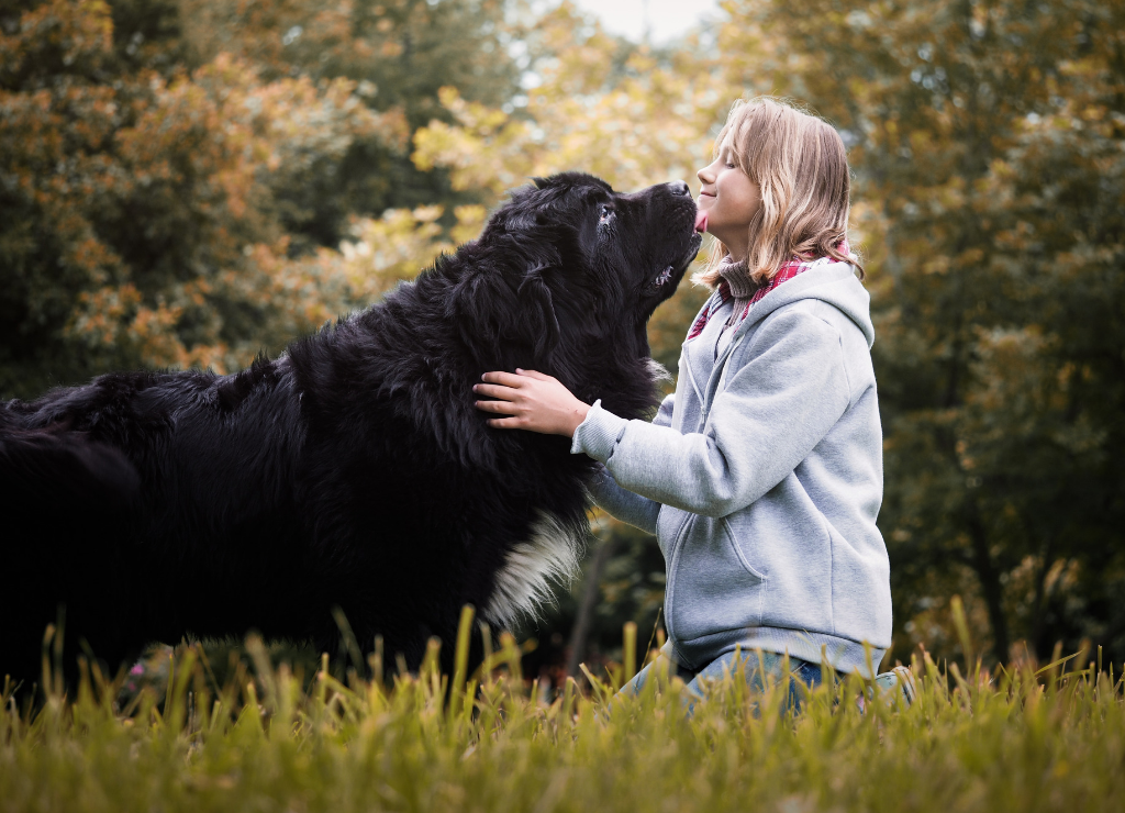 Newfoundland dog standing outside with human person owner kneeling licking face