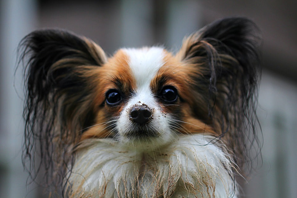 Papillon dog portrait wet dirty muddy dusty